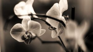 orchidee 2 by silver80