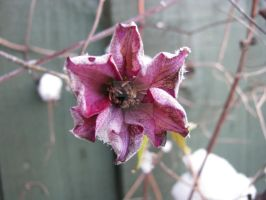 Snow flower 7213 by Maxine190889