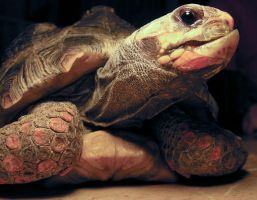 Red-Footed tortoise by digital-amphetamine