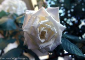 White rose I by FrancescaDelfino