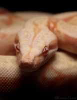 """Stoli"" - Albino Redtail Boa by oOBrieOo"