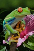 Red eyed tree frog by doormouse1960
