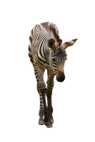 Little Zebra Stock PNG by haleycaldwell