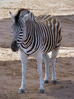 Zebra by PandaTJ