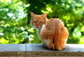 Orange cat by Doroty86