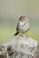 White Crowned Sparrow by FeralWhippet