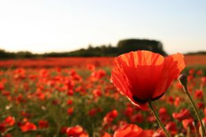 poppy field by oever