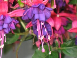 Fuchsia by Jyl22075