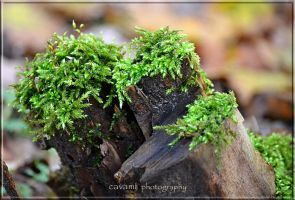 Mosses1 by CaryAndFrankArts