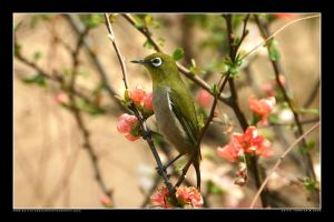 White-eye in the Park 3 by Keith-Killer