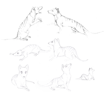 Thylacine Sketches by MathiasKaizer