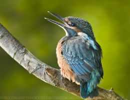 Baby Kingfisher by thrumyeye
