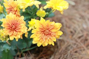mums by hkiwi1846