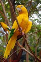 Golden Parakeet by ironmanbr