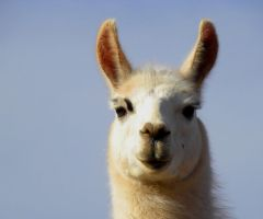 Llama face by SuicideBySafetyPin