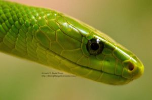 Green Mamba Up Close by 8TwilightAngel8