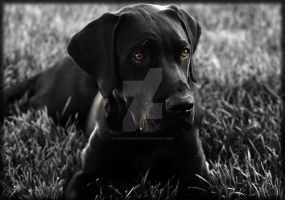 Black Lab Mastiff Labrador Ret by houstonryan