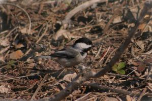 Black Capped Chickadee by danmoore