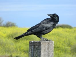 Crow 001 - HB593200 by hb593200