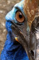 Cassowary - 02 by Ladonite