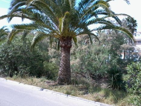 Palm Tree (Mallorca) by badencosmo