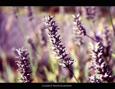 Lavender by ClairutPhotography