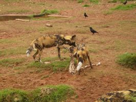 African Painted Dogs II by Twister4evaSTOCK