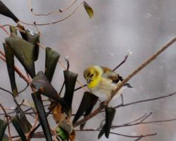 Wild Yellow Finch by MikeysPhotos