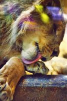 Lion Lick by shaina74