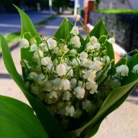 The lilies of valley to my wife. by Zhirnoff