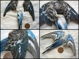 Real Budgerigar Parrot Wings and Tail FOR SALE by EternalEmporium