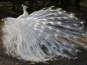 White Peacock 01 by MapleRose-stock