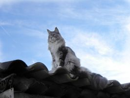 ...Maine coon en balade by Flore-stock