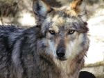 EPZ Mar23: Mexican wolf 13 by FamilyCanidae