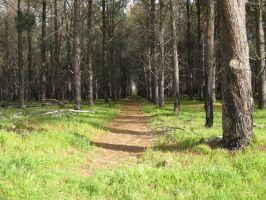 Pine trees Walk by GrumpySnapper