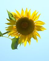 Sunflower by MLeighS