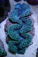 Tuamotu Maxima Clam, Blue by oOBrieOo