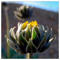 desert sunflower bud by tea