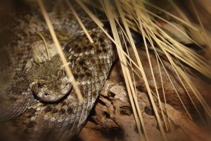 Western Diamondback by S-H-Photography