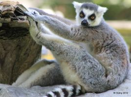 Lemur Yoga by lenslady