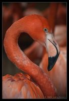 Flamingo 35-019 by Prince-Photography