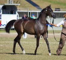 STOCK - Gold Coast Show 058 by fillyrox