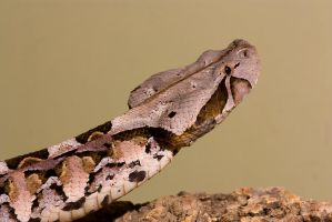 The Gaboon viper by AngiWallace