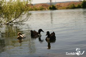 Enten by Tochibi