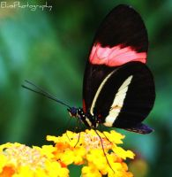 Flutterby Butterfly by ElinsPhotography