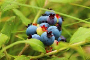 Blueberries in the Summer by WiiR4Him