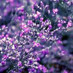 shades of purple by Blaumohn