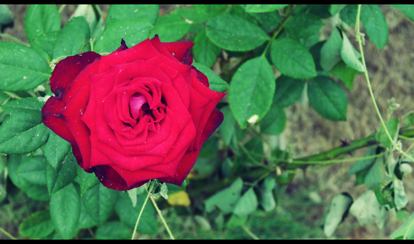red rose 12 by melrose86