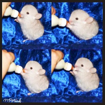 Feed the Baby OyO Chinchilla by Villa-Chinchilla