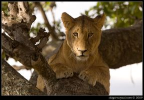 LION ON A TREE... by dogansoysal